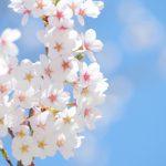 「桜切る馬鹿、梅切らぬ馬鹿」桜で花冠を作るのはダメ!
